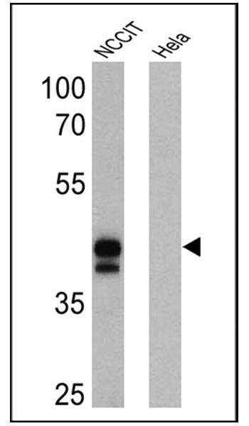 OCT4 Antibody (MA1-104-HRP)