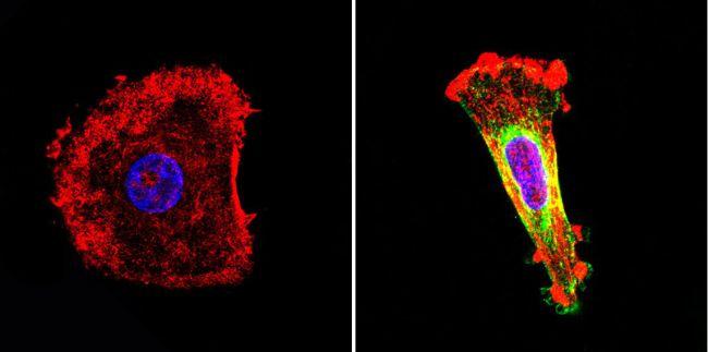 Nestin Monoclonal Antibody (10C2)