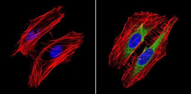 RhoA/RhoC Antibody (MA1-123) in Immunofluorescence