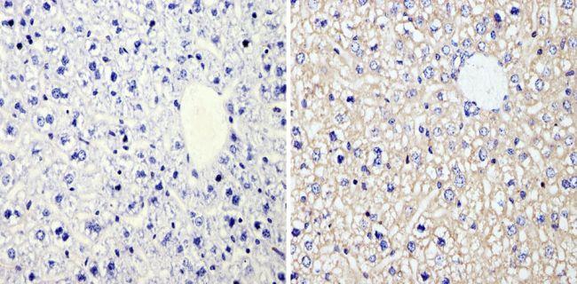 RhoA/RhoC Antibody (MA1-123) in Immunohistochemistry (Paraffin)