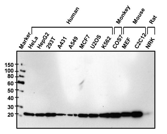GLO1 Antibody (MA1-13029) in Western Blot