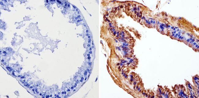 Cyclin B1 Monoclonal Antibody (V152)