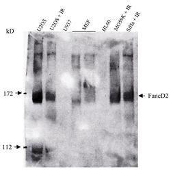 FANCD2 Antibody (MA1-16570)
