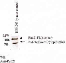 RAD21 Antibody (MA1-16585) in Western Blot