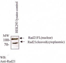 RAD21 Antibody (MA1-16585)