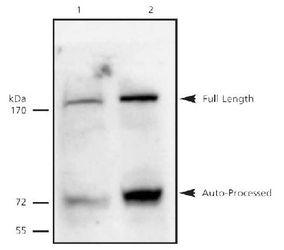 Separase Antibody (MA1-16595)