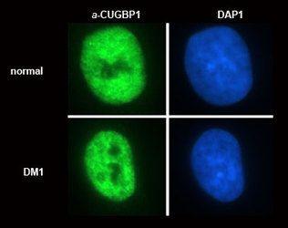 CUG-BP1 Antibody (MA1-16675)