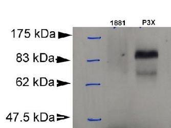 Blimp-1 Antibody (MA1-16874) in Western Blot