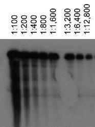 Abca1 Antibody (MA1-16936)