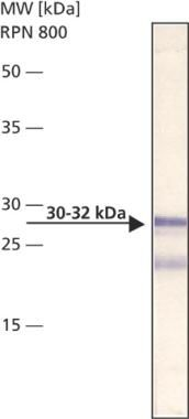 Bcl-10 Antibody (MA1-20160) in Western Blot