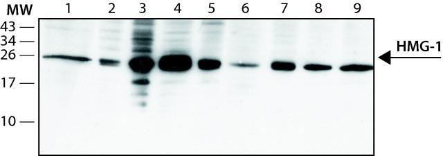 HMGB1 Antibody (MA1-20338)