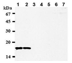CENPA Antibody (MA1-20832) in Western Blot