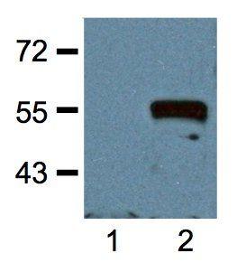 c-Myc Tag Antibody (MA1-21316) in Western Blot