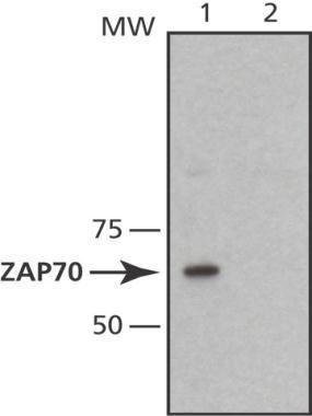 ZAP70 Antibody (MA1-21350)