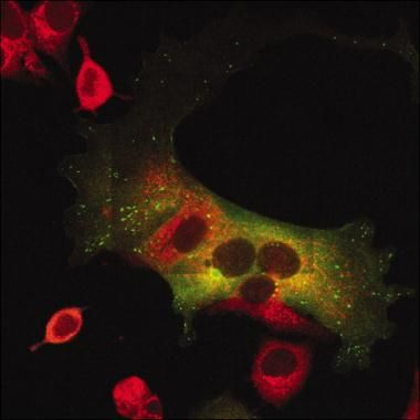 Golgi protein 58k Antibody (MA1-22144) in Immunofluorescence