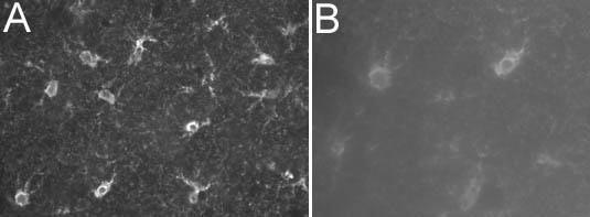 S100 Antibody (MA1-22734) in Immunohistochemistry - Free Floating