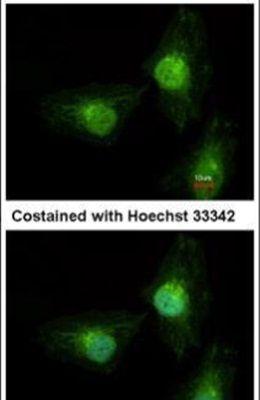 SRC3 Antibody (MA1-23150)