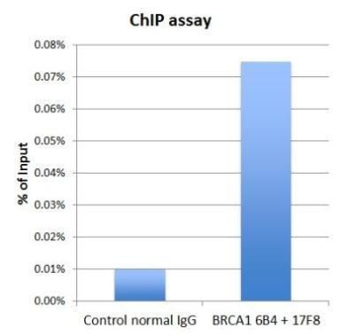 BRCA1 Antibody (MA1-23164) in ChIP assay