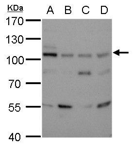 DNA Ligase III Antibody (MA1-23191)