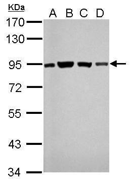 DNA Ligase III Antibody (MA1-23195)