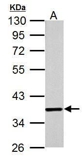 JAB1 Antibody (MA1-23244) in Western Blot