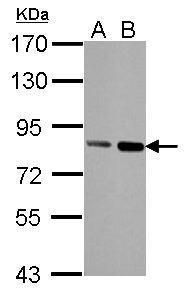 Nuclear Matrix Protein p84 Antibody (MA1-23261) in Western Blot