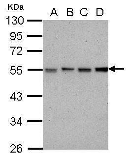 RbAp46/RbAp48 Antibody (MA1-23277) in Western Blot