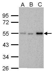 Chk1 Antibody (MA1-23336)