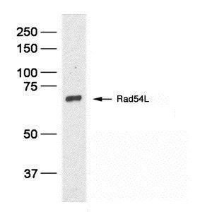 RAD54L Antibody (MA1-23339) in Western Blot