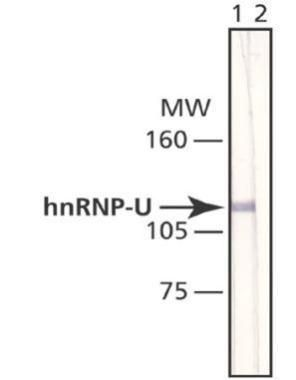 hnRNP U Antibody (MA1-24632) in Western Blot