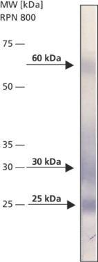 BNIP3 Antibody (MA1-24688)