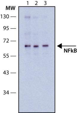 NFkB p65 Antibody (MA1-24691) in Western Blot