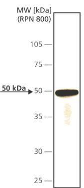 Cdc14A Antibody (MA1-24747) in Western Blot