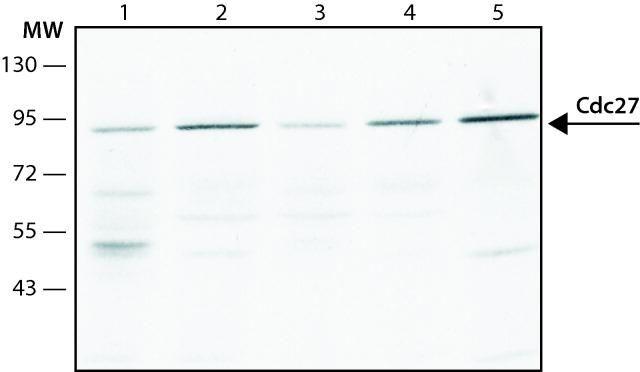 Cdc27 Antibody (MA1-24749) in Western Blot
