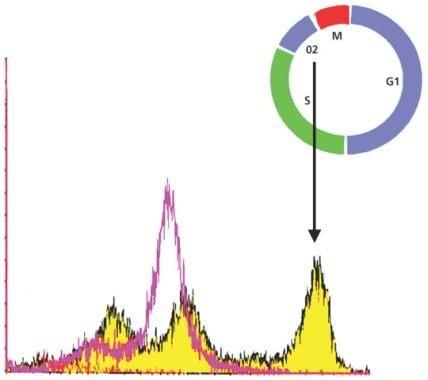 Phospho-Histone H3 pSer28 Antibody (MA1-24751)