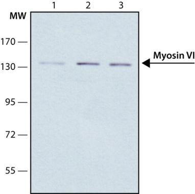 MYO5A Antibody (MA1-24948)
