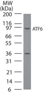 ATF6 Antibody (MA1-25358) in Western Blot