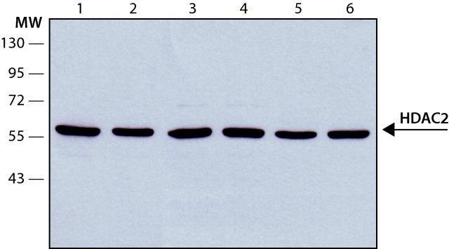 HDAC2 Antibody (MA1-25451) in Western Blot