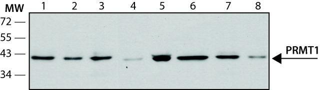 PRMT1 Antibody (MA1-25468)