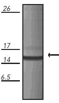 HSPE1 Antibody (MA1-25622)