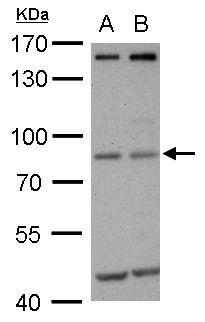 MDM2 Antibody (MA1-25896) in Western Blot