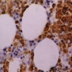 Myeloperoxidase Antibody (MA1-34067)