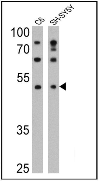 DRD5 Antibody (MA1-46025)