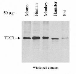 TRF1 Antibody (MA1-46375) in Western Blot