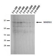 MAD1 Antibody (MA1-5829) in Western Blot
