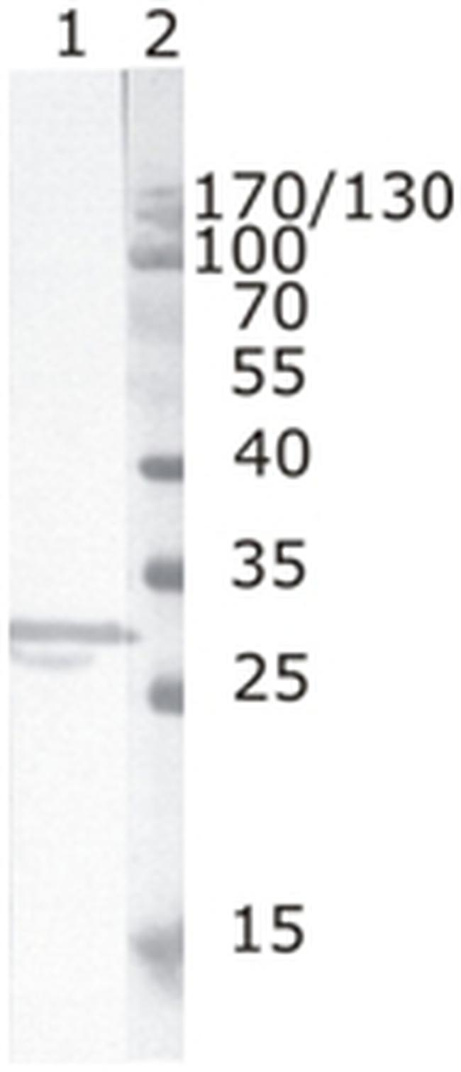 HIV1 nef Antibody (MA1-71502) in Western Blot