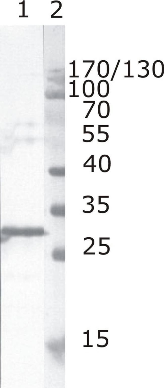 HIV1 nef Antibody (MA1-71503)