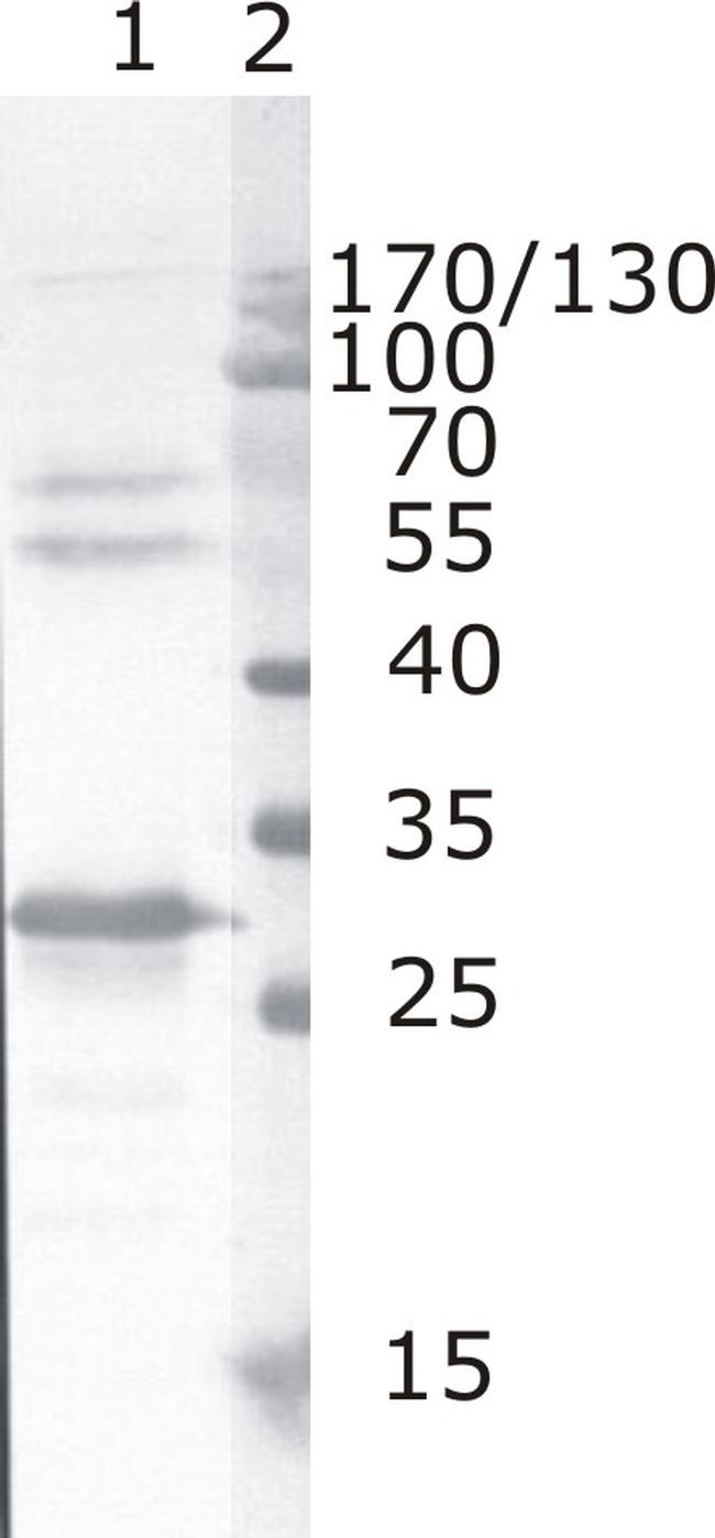 HIV1 nef Antibody (MA1-71507)