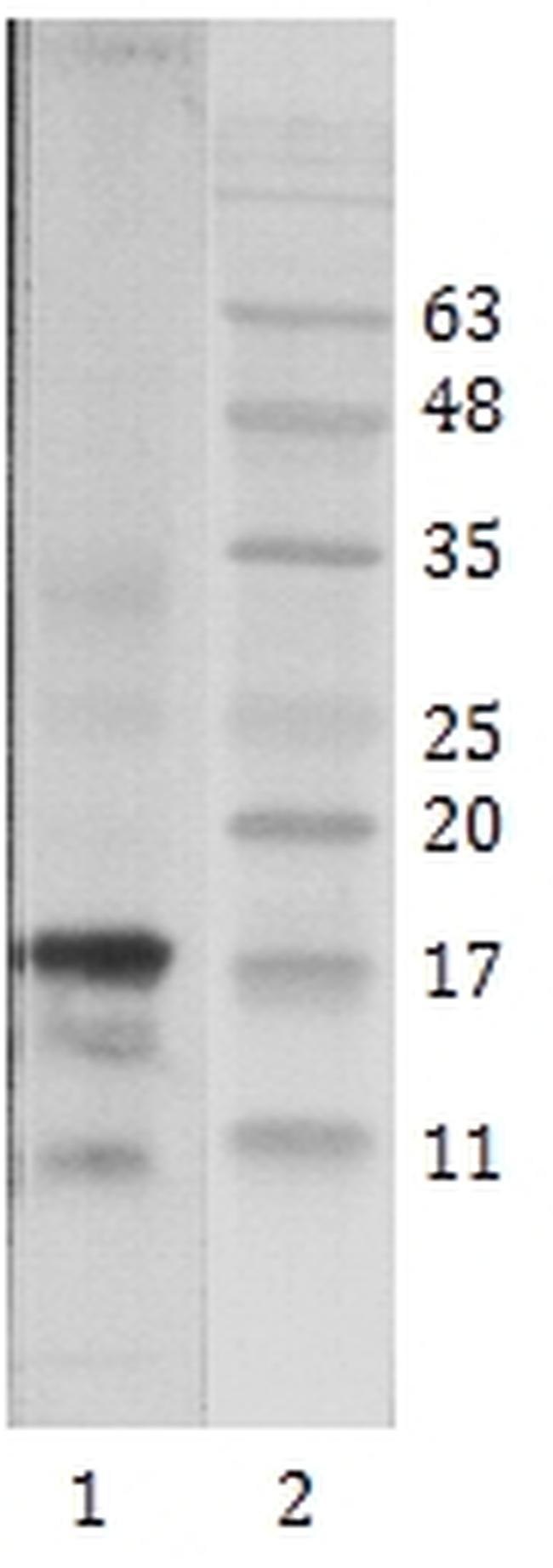 HIV1 Tat Antibody (MA1-71509) in Western Blot