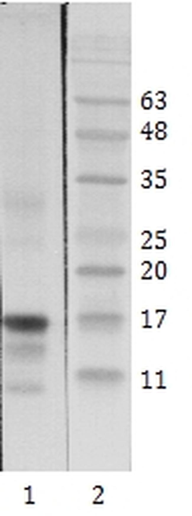HIV1 Tat Antibody (MA1-71513)
